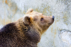 Free Brown Bear Royalty Free Stock Photos - 30841758