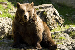 Brown Bear. A Brown bear sitting in the sun after a bath Royalty Free Stock Image