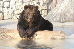 The brown bear Stock Photos