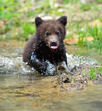 Brown bear. Bear in its natural habitat Stock Photo