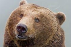Brown bear. Head of european brown bear Stock Images