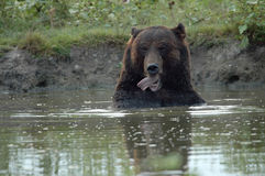 Brown bear. In the lake Stock Photos