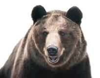 Free Brown Bear Royalty Free Stock Photo - 45559195
