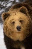 Brown Bear. Close up of sleepy brown bear Royalty Free Stock Image