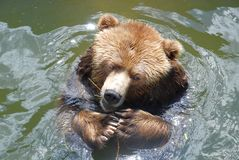 Brown bear. In water in zoo Stock Photos