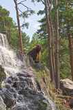 Brown Bear. Bear sitting on his rock looking out of his territory Stock Photography