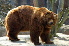Brown bear. The brown bear (Ursus arctos) is an omnivorous mammal of the order carnivora, distributed across much of northern Eurasia and North America. It Royalty Free Stock Photography