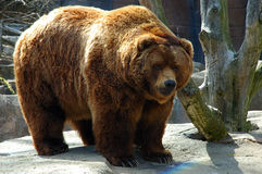 Brown bear. The brown bear (Ursus arctos) is an omnivorous mammal of the order carnivora, distributed across much of northern Eurasia and North America. It Royalty Free Stock Image