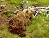 Brown Bear. With cute feet Royalty Free Stock Photos