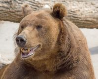 Brown bear 6 royalty free stock image