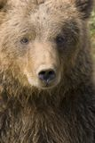 BROWN BEAR. Close-up of a brown bear Royalty Free Stock Image