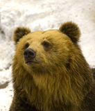 Brown Bear. Close up of sleepy brown bear Stock Photos