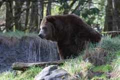 Brown Bear. Bear in the woods Royalty Free Stock Image
