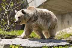 Brown bear. At the rocks stock image