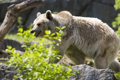 Brown bear. At the rocks Royalty Free Stock Images