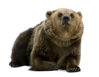 Brown Bear, 8 years old, lying Royalty Free Stock Photography