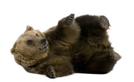 Brown Bear, 8 years old, lying Stock Image