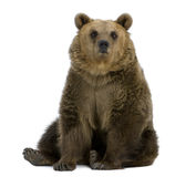 Brown Bear, 8 years old, sitting Royalty Free Stock Photos
