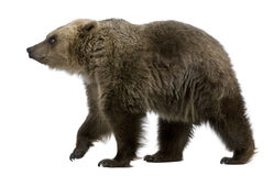 Brown Bear, 8 years old, walking royalty free stock photo