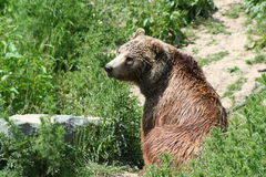 Brown Bear. Looking for food Royalty Free Stock Photography