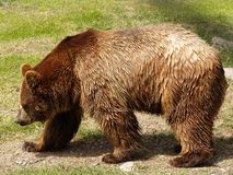 Brown Bear. Walking by the forest in a day of sun Stock Images