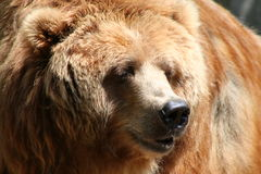 Brown bear. Big olg brown bear Royalty Free Stock Images