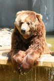 Brown Bear. Lazy brown bear Royalty Free Stock Photos