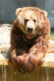 Brown Bear. Lazy brown bear Royalty Free Stock Image