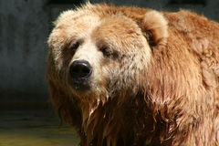 Brown Bear. Old fury brown bear Royalty Free Stock Photo