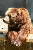 Brown Bear. Lazy brown bear Stock Image