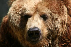 Brown Bear. Portrait of brown bear Stock Images