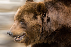 A brown bear. A portrait of a euro-asian brown bear Stock Photography