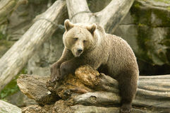 Brown bear. Closeup of brown bear on tree trunk in captivity Royalty Free Stock Photography