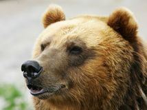 Brown bear. The Russian bear, symbol of Siberia stock images