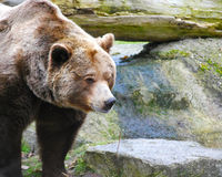 Brown Bear. Close up view of a brown bear Stock Photography