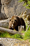 Brown bear. Bear photographed in Seattle ZOO, Washington, USA Stock Photo
