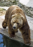 Brown bear. A Brown bear in bondage Royalty Free Stock Photos
