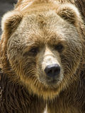 Brown bear. Portrait of a brown bear Royalty Free Stock Photos