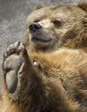 Brown bear. Portrait of a brown bear Royalty Free Stock Image