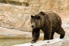 Brown Bear. An adult brown bear walking along some rocks Royalty Free Stock Images