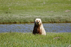 Brown Bear Alaska Royalty Free Stock Photo