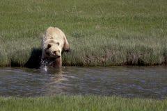 Brown Bear Alaska Royalty Free Stock Images