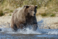 Brown bear at Alaska Katmai stock photo