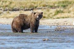 Brown bear at Alaska Katmai Royalty Free Stock Photo