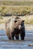 Brown bear at Alaska Katmai Royalty Free Stock Images