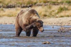 Brown bear at Alaska Katmai Stock Photo