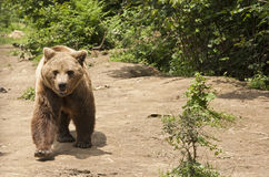 Brown bear approaching. Transylvania, Romania wildlife carnivore Royalty Free Stock Photography