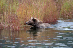 Brown Bear  in autumn colors Stock Image