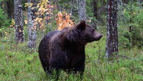 Brown bear in the autumn forest.