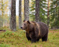 Brown bear in autumn forest Royalty Free Stock Photography